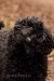 small-poodle