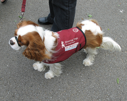 Image of: Puppies Cavalier King Charles Spaniel Ruffington Post Hearing Dogs Canis Bonus